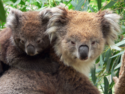 Mother and Junior Koala image